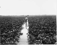 Applying Water to Beet Field From Lateral, G.F. Goorich Farm, Wheatland, Wyoming