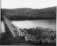 3,000 Sheep Crossing Platte River At Alcova, Wyoming