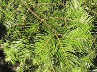 Abies grandis leaves