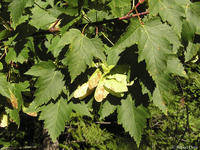 Acer glabrum leaves and fruits