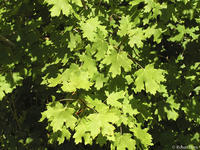 Acer grandidentatum leaves