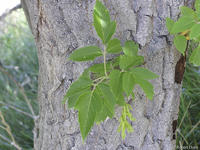 Acer negundo leaves fruits and bark