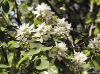 Amelanchier alnifolia flowers