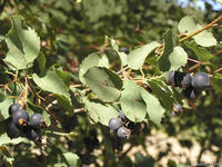 Amelanchier alnifolia fruits