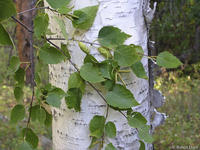 Betula papyrifera leaves and bark