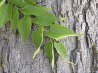 Celtis occidentalis leaves and bark