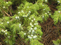 Juniperus communis leaves and cones