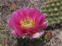 Opuntia polyacantha red phase