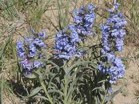 Penstemon angustifolius