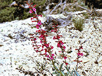 Penstemon utahensis