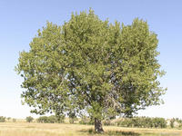 Populus deltoides var occidentalis