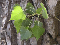 Populus deltoides var occidentalis leaves and bark