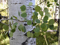 Populus tremuloides leaves and bark