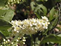 Prunus virginiana flowers