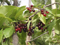Prunus virginiana fruits