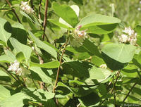Symphoricarpos occidentalis
