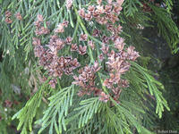 Thuja plicata leaves and cones
