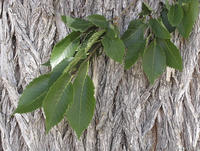 Ulmus americana leaves and bark