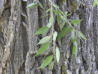 Salix amygdaloides leaves and bark