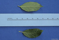 Salix bebbiana leaves