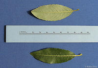 Salix discolor leaves