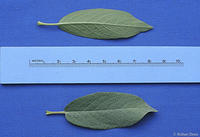 Salix eastwoodiae leaves