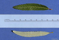 Salix irrorata leaves