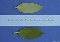 Salix monticola leaves