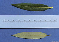 Salix petiolaris leaves