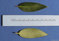 Salix serissima leaves