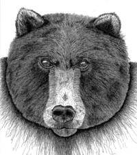 Print depicting face of a bear